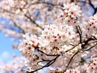 桜②.jpgのサムネイル画像