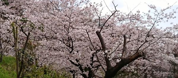 2018桜④.jpg