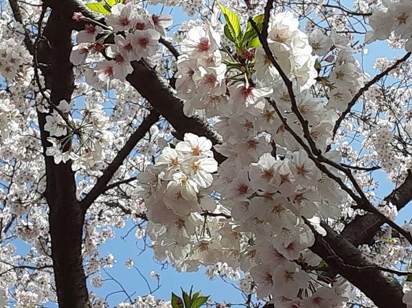 2020桜①.jpg