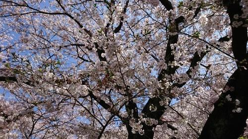 2020桜④.jpg