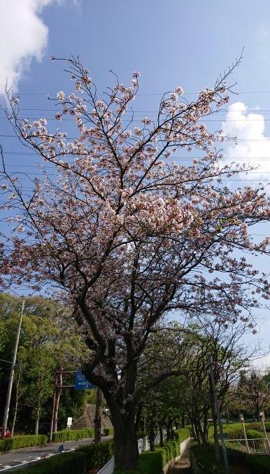 2021桜①.jpg