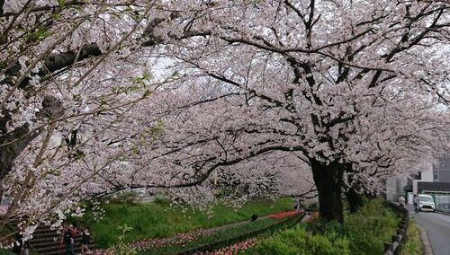 2021桜②.jpg