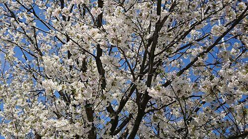 2021桜④.jpg